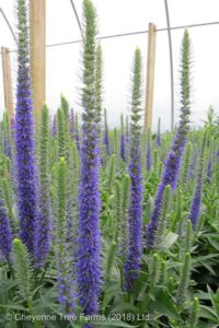 Royal Candles Speedwell