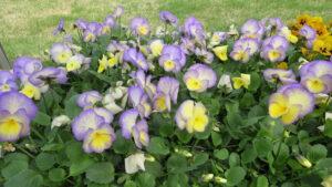 lavender flowers, yellow perennials, rock garden, leduc garden centre