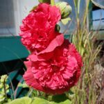 Hollyhock – Chater's Double