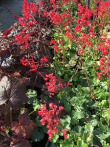 hummingbirds, red flowers, greenhouse, beaumont