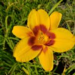 Daylily – Fooled Me