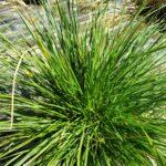 Goldtau Tufted Hair Grass