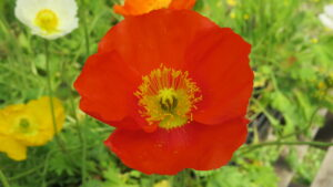 orange poppy, english garden, alpine garden, rock garden, self seeding flowers