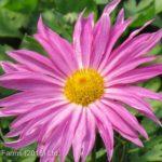 Daisy Chrysanthemum – Mammoth Dark Pink