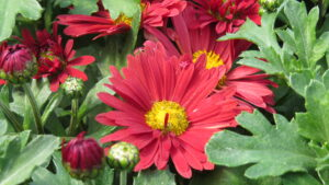red flowers, fall blooming, mums, leduc greenhouse