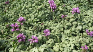 ground cover, pink purple flowers, variegated leaves, rock gardens, beaumont garden centre