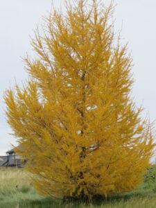 fall colour, yellow needles, tree farm, beaumont, leduc, camrose, wetaskiwin