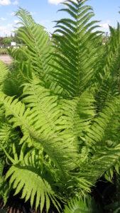 shade perennial, ferns, beaumont garden centre