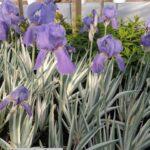 Iris Sweet Flag – Albo Variegata