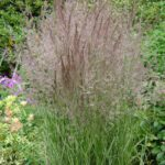 Feather Reed – Overdam Variegated Grass