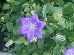 Blue flowers, tiny,dwarf, groundcover, garden centre, beaumont, leduc