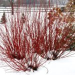 Dogwood – Arctic Fire® Red
