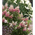 Hydrangea – Pinky Winky®