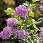 Bloomerang® Purple Lilac – Shrub or Top Graft