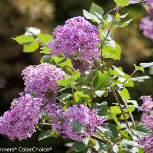 Lilac – Bloomerang® Purple  – Shrub or Top Graft