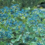 Blue Muffin® Arrowwood Viburnum