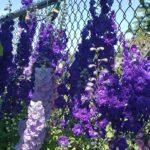 Delphinium – Pagan Purples New Millenium