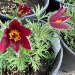 Pasque Flower – Red