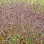 Switchgrass – Red