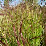Switchgrass – Shenandoah