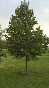 shade tree, feature tree, tree farm, beaumont, leduc, edmonton, wetaskiwin, camrose