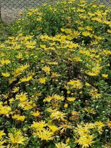 yellow flowers, fall blooms, mums, beaumont leduc garden centre
