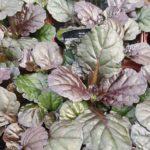 Bugleweed – Black Scallop
