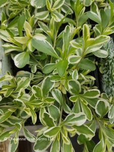 Rockcress – Variegated Alpine