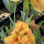 Iris Bearded – Orange Dwarf