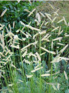 Mosquito / Blue Gamma Grass