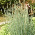 Bluestem – Prairie Blues  Grass