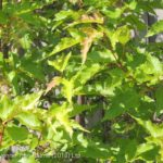 Maple Amur  – Shrub Form