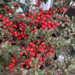 Cotoneaster – Cranberry
