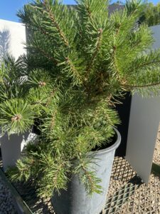 Cheyenne Tree Farms, Hillside Creeper Pine, Erosion Control, shop beaumont, yeg garden centre, Shop leduc, slow growing shrub