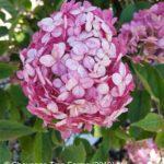 Hydrangea – Invincibelle Ruby®