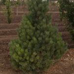 French Blue Scots Pine
