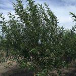 Willow – Prairie Reflection Laurel Leaf