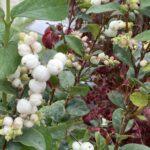 Snowberry – Common