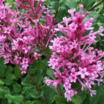 Lilac – Bloomerang® Dwarf Pink