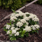 Viburnum – Lil' Ditty® Witherod