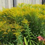 Goldenrod – Little Lemon Solidago