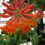 Honeysuckle – Dropmore Scarlet Vine