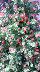 vine, orange flowers, hummingbirds, garden centre, beaumont, leduc