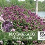 Lilac – Bloomerang Dark Purple Lilac