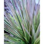 Northern Lights Tufted Hair Grass